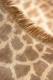 giraffe παλτών λαιμός Στοκ Εικόνες
