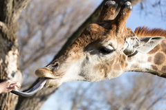Giraffe παρουσιάζει τη γλώσσα στη φύση Στοκ φωτογραφία με δικαίωμα ελεύθερης χρήσης