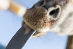 Giraffe παρουσιάζει τη γλώσσα στη φύση Στοκ εικόνα με δικαίωμα ελεύθερης χρήσης