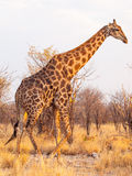 Giraffe περίπατος στο εθνικό πάρκο Etosha, Ναμίμπια, Αφρική Στοκ εικόνα με δικαίωμα ελεύθερης χρήσης