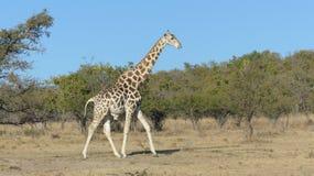 giraffe περπάτημα Στοκ Φωτογραφίες