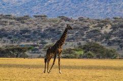 Giraffe περπάτημα Στοκ εικόνες με δικαίωμα ελεύθερης χρήσης