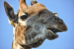 Giraffe πορτρέτου στοκ εικόνα με δικαίωμα ελεύθερης χρήσης