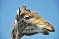 Giraffe πορτρέτου στοκ φωτογραφία με δικαίωμα ελεύθερης χρήσης