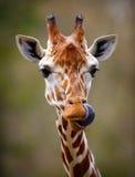 Giraffe πορτρέτο γλωσσών έξω Στοκ Φωτογραφία