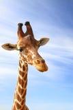 Giraffe πορτρέτο κινηματογραφήσεων σε πρώτο πλάνο Στοκ Εικόνα