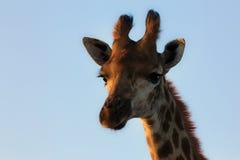 Giraffe πορτρέτο με το μπλε ουρανό Στοκ φωτογραφία με δικαίωμα ελεύθερης χρήσης