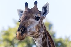 Giraffe πορτρέτο σε Kruger NP Στοκ Εικόνες