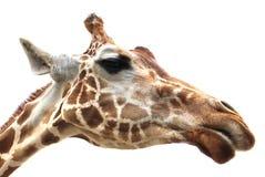 Giraffe πορτρέτο στην άσπρη ανασκόπηση Στοκ Φωτογραφία