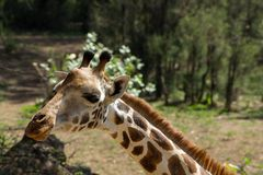 Giraffe πορτρέτο στη συντήρηση άγριας φύσης της Αφρικής ή στο ζωολογικό κήπο Στοκ Φωτογραφίες