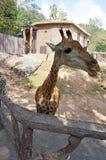 Giraffe πορτρέτο στο ζωολογικό κήπο Στοκ εικόνα με δικαίωμα ελεύθερης χρήσης