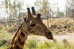 Giraffe πορτρέτο στο πάρκο Haller, Μομπάσα, Κένυα Στοκ φωτογραφίες με δικαίωμα ελεύθερης χρήσης