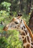 Giraffe πορτρέτο στο πάρκο Haller, Μομπάσα, Κένυα Στοκ φωτογραφία με δικαίωμα ελεύθερης χρήσης