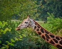 Giraffe πορτρέτο στο πράσινο υπόβαθρο Στοκ Φωτογραφίες