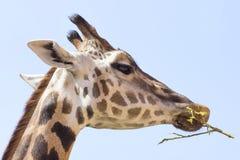 giraffe πορτρέτο φωτογραφιών Στοκ εικόνες με δικαίωμα ελεύθερης χρήσης