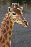 giraffe πορτρέτο Στοκ φωτογραφία με δικαίωμα ελεύθερης χρήσης
