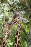 Giraffe πορτρέτο Στοκ Εικόνες