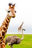 Giraffe πορτρέτο Στοκ εικόνα με δικαίωμα ελεύθερης χρήσης