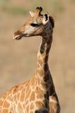 giraffe πορτρέτο Στοκ Φωτογραφία