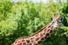 Giraffe πορτρέτο camelopardalis Giraffa Αφρικανικό safa άγριας φύσης Στοκ Φωτογραφία
