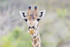 Giraffe πορτρέτο, Kruger Στοκ Εικόνα