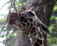 Giraffe που έχει ένα πρόχειρο φαγητό Στοκ Φωτογραφίες