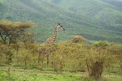 Giraffe που εμφανίζει γλώσσα Στοκ εικόνες με δικαίωμα ελεύθερης χρήσης
