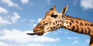 Giraffe που εμφανίζει γλώσσα Στοκ φωτογραφία με δικαίωμα ελεύθερης χρήσης