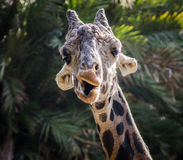 Giraffe που κάνει τα πρόσωπα Στοκ Φωτογραφίες