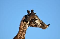 Giraffe που κολλά έξω τη γλώσσα του Στοκ Φωτογραφία