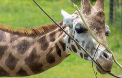 Giraffe που μασά ειρηνικά τα φύλλα Στοκ φωτογραφίες με δικαίωμα ελεύθερης χρήσης