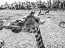 Giraffe που παρουσιάζει γλώσσα του στο Κεμπέκ Στοκ Εικόνες