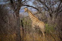Giraffe που στέκεται μεταξύ των δέντρων και της ψηλής χλόης στοκ εικόνες