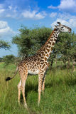 Giraffe που τρώει την ακακία βγάζει φύλλα Στοκ φωτογραφία με δικαίωμα ελεύθερης χρήσης
