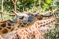 Giraffe που τρώει τους κλάδους Στοκ εικόνα με δικαίωμα ελεύθερης χρήσης