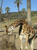 Giraffe που τρώει το γεύμα Στοκ εικόνες με δικαίωμα ελεύθερης χρήσης