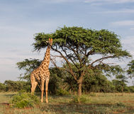 Giraffe που υπερασπίζεται το δέντρο Στοκ Εικόνες