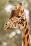 Giraffe που φαίνεται κατά μέρος πάρκο σαφάρι Στοκ Εικόνες