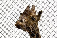 giraffe που φαίνεται μεταλλικ Στοκ φωτογραφίες με δικαίωμα ελεύθερης χρήσης