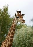 giraffe προσώπου Στοκ εικόνες με δικαίωμα ελεύθερης χρήσης