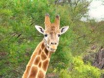 giraffe προσώπου Στοκ Φωτογραφίες