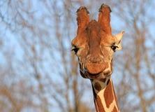 giraffe προσώπου Στοκ φωτογραφία με δικαίωμα ελεύθερης χρήσης