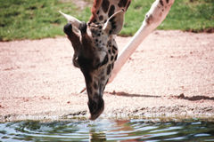 Giraffe πόσιμο νερό Στοκ Φωτογραφία