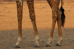 Giraffe πόδια Στοκ εικόνες με δικαίωμα ελεύθερης χρήσης