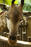 giraffe ρίψη Στοκ Εικόνες