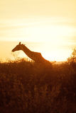 Giraffe σκιαγραφία σε Masai Mara Στοκ Φωτογραφία