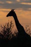 Giraffe σκιαγραφία στην ανατολή Στοκ Φωτογραφία