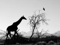 Giraffe σκιαγραφία στην Αφρική Στοκ εικόνα με δικαίωμα ελεύθερης χρήσης