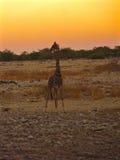 Giraffe σκιαγραφία Στοκ Εικόνα