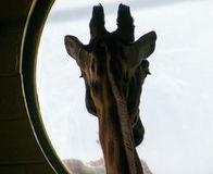 Giraffe σκιαγραφία Στοκ Εικόνες